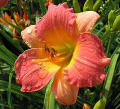 Prairie Blossoms  $9.99 each, 3 for $27.99   3 1/2″ bloom, 25″ tall, Early Season + rebloom, Dormant  With deep rose petals and pale peach sepals, it's hard to think of a better (and more beautiful!) example of a bicolor daylily. Eyecatching in the garden. Fragrant.  https://www.oakesdaylilies.com/product/prairie-blossoms/