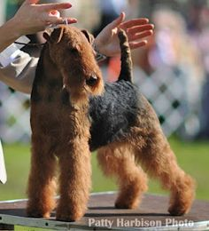 "Welsh Terrier // Ch Bayleigh Shaireab's To Catch A Thief ""Glitter"". Glitter now lives in Shanghai!"