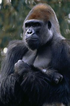 These are largest primates in the world with the male silverbacks being twice the size of the female gorilla. There are two species of gorillas found in Africa. One species are found in the volcanic mountains of Virunga in Central Africa and the Democratic Republic of Congo. The other mountain gorilla species is found in the Uganda Bwindi Impenetrable forest. Gorillas are listed as the critically endangered species, due to human encroachment and illegal poaching.