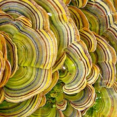 Turkeytail fungi on a decomposing tree stump Patterns In Nature, Textures Patterns, Verde Neon, Slime Mould, Mushroom Fungi, Natural Forms, Amazing Nature, Textured Background, Nature Photography