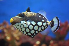 Most beautiful fishes Clown Trigger Fish
