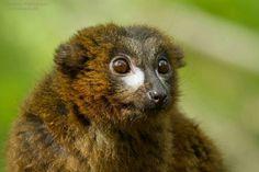 Roodbuik lemur