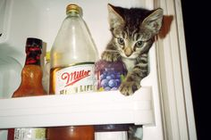 Photo of a kitten in a refrigerator. Signed by photographer on reverse.  I found two cats in a box on the street in NYC that had been thrown away by their owner. I am allergic to cats so I tried to take them to a shelter but none of the no kill shelters were open so I took them home and eventually found them homes with my friends. I sort of fell in love with Maven shown here and did a little photo shoot before sending him off with his new mom. Currently Maven lives in Washington, DC and is…