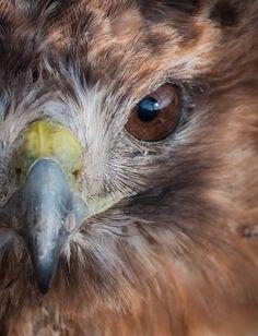 Hawk Totem - Awareness, Perspective, Insight, Truth, Visionary Power, Guardianship, Strength, Initiative, Decisiveness, Creativity, Messenger, Caution, Maneuvering, Leadership, Spirit, Totem Animal