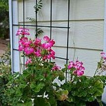DIY:: How to Easily Propagate or Clone Pelargoniums