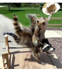 Novelty Squirrel Cowboy Riding Raccoon Taxidermy Mount | eBay - I bizarrly love this!