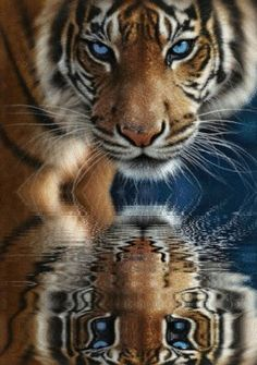 Only baby tigers and white tigers have blue eyes: Stunning Reflection of Those Baby Blues ♥ | Endangered