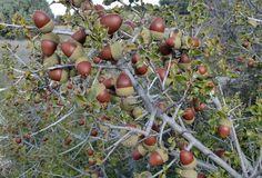 Quercus coccifera L. / coscoja. | Fuendetodos: Aragón (Espa… | Flickr - Photo Sharing!