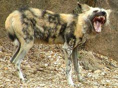 African Wild Dog ...