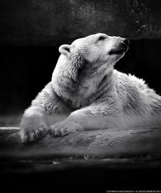 Family Bunker Plans 813955332634747332 - Polar Bear, Philadelphia Zoo by Mike Dunckley Source by oliviermodelage Polar Bear Drawing, Polar Bear Tattoo, Zoo Animals, Animals And Pets, Bear Tattoos, Ship Tattoos, Arrow Tattoos, Philadelphia Zoo, Bear Photos