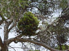 Kieferkugel im Baum (Palma  de Mallorca) Foto: Hansjörg Renner