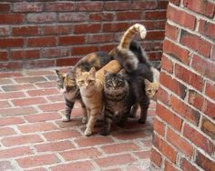 ♥♥ ♥ Oh, what a tangled tail we weave. ♥ (I love cats and kittens. Cute Cats And Kittens, Cool Cats, Kittens Cutest, Baby Animals, Funny Animals, Cute Animals, Crazy Cat Lady, Crazy Cats, Beautiful Cats