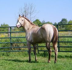 Etched N Money (Champagne N Money x Etched In Platinum) Quarter Horse