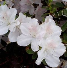 Azaleas, I have 12-14 med size in pink, white, coral & red.  I have 12 large azaleas in red, pink, coral and white