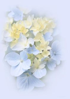 Lovely soft pastel blue and yellow Hydrangea flowers Photography Art for your home or office decor.This floral design is also available in a variety of soft color hues.Copyright by Jennie Marie Schell. Pastel Flowers, Simple Flowers, Flowers Nature, Diy Flowers, Yellow Flowers, Beautiful Flowers, Pastel Blue, Hydrangea Flower, Flowers
