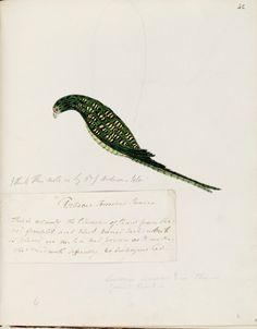 Australian naturalist illustration, 18th Century.