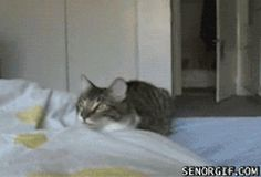 """""""We know what we are, but know not what we may be."""" -- William #Shakespeare  I have said it before, but this #cat #gif proves it again -- you can do incredible things if you put your mind to them! I don't mean we should all take backflips out of bed -- but we can look towards a better #future. What do you see?  Please #adopt a cat -- NEVER buy one or breed them. There are so many waiting for a home at your local #shelter!"""