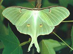 Luna Moth. Actias luna
