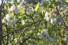 Very cute blueberry white flowers in Oct 2014 at Lavender Backyard Garden, Hamilton, New Zealand