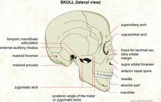 Anatomy study tips