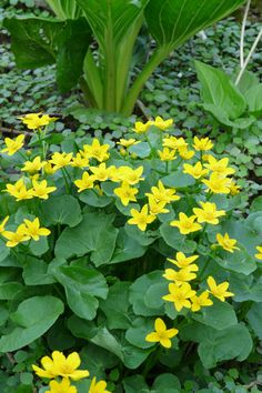 Marsh Marigold April May Yellow Full Sun Partial Shade Two Planted Near Back Gutter Nicky Bog Pond Edge Plants