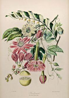 Passion flower tribe (1849) by Elizabeth Twining.