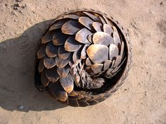 "A pangolin, the name, comes from the Malay word, pengguling, meaning ""something that rolls up""."