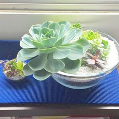 O vaso Gilberto faz tanto sucesso que recebemos um pedido especial de tamanho superG! Olha como fica perto de um P!  #oitominhocas #suculovers #suculentas #plantinhas #decoração #elo7br