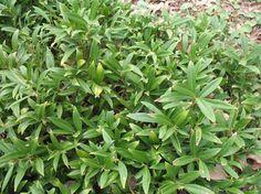 Dwarf Himalayan Sweetbox. OninePlantGuide.com 11052