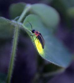 Lightening bugs (fireflies) are magical.