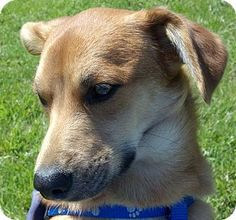 Marion, NC - Corgi Mix. Meet Biscuit a Dog for Adoption. Mercy Fund Animal Rescue..