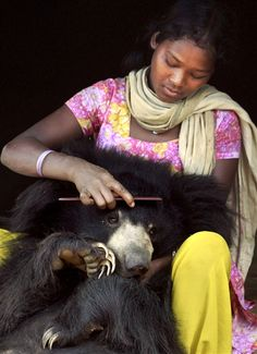 Buddu the sloth bear cub gets his hair combed (Biswaranjan Rout / AP)