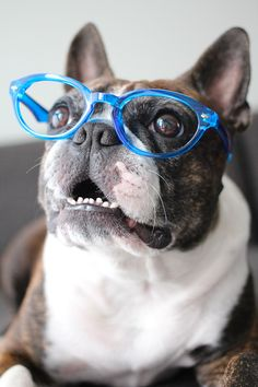 The New Blue Glasses - Pepper and Teddy Cute Puppies, Cute Dogs, Dogs And Puppies, Doggies, Cute Animal Pictures, Puppy Pictures, Boston Terrier Love, Boston Terriers, Animals And Pets
