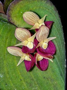 Pleurothallis cyanea