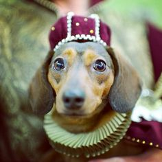 Is that you, Romeo? Baby Chihuahua, Puppies And Kitties, Doggies, Dachshunds, Weenie Dogs, Dachshund Love, Dog Costumes, Dog Rules, Cute Animal Pictures