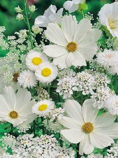 Cosmos, Allyssum, Queen Anne's Lace, Daisy, Scabiosa....