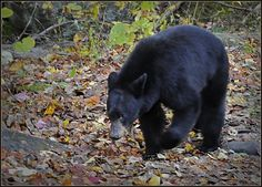 Great Smoky Mountains National Park is one of the few places remaining in the eastern United States where black bears can live in wild, natural surroundings. For many, this famous Smokies' resident is a symbol of wilderness.