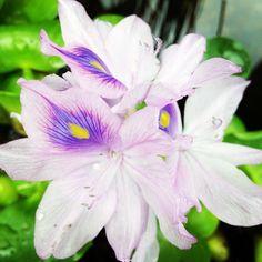 Aquatic Plants Inspiration Gallery :: Hometalk