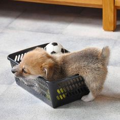 Corgi Therapy / Hehe its so tiny! ❤️ Double tap & tag a furiend...