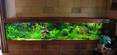 My dream rainbowfish tank