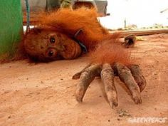 """Animal Prostitution: Orangutan's Trading in Asia and """"Bestiality Brothels"""" in Europe. """"Llano asserts that orangutans prostitution has become a common practice in Asian countries, especially among workers of logging companies and palm oil plantations, but she warns that it is not the only form of abuse used against orangutans: While female orangutans are tortured and prostituted, the male orangutans are used for boxing shows."""""""
