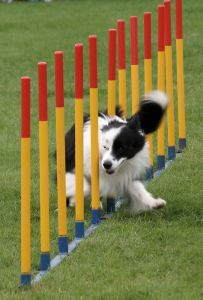 7 websites to create your DIY aussie agility course