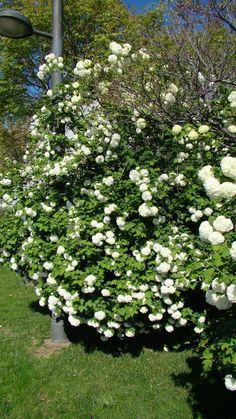Fotografías del arbusto bola de nieve o sauquillo (Viburnum opulus L.) en floración. Esta especie se usa en jardinería en forma de ejemplares aislados o en setos. De hoja caduca, resistentes a las heladas y exposición soleada.