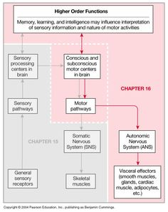 Chapter 16: Neural Integration II: The Autonomic Nervous System and Higher Order Functions