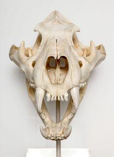 tiger skull - Google Search