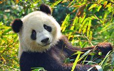 As the nation awaits the birth of a panda cub at Edinburgh Zoo, we reveal   where to see roaming pandas in China.