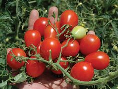 The sweet red 1-oz fruit grow in large clusters, and the name Riesentraube, means 'Giant Bunch of Grapes' in German.