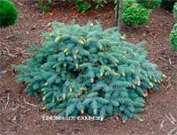 Picea pungens 'Early Cone'