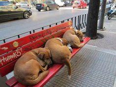 Thessaloniki, Labrador Retriever, Dogs, Animals, Labrador Retrievers, Animales, Animaux, Pet Dogs, Doggies