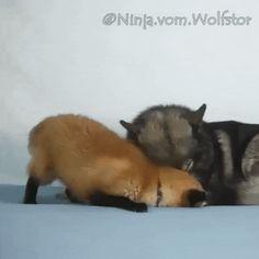 Beautiful Creatures, Animals Beautiful, Sterek Fanart, Sterek Fanfiction, Wolf, Lion, Star Fox, Beautiful Wolves, Cute Animal Photos